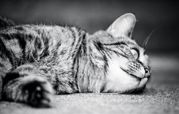 Картинка кошка, кот, монохром, cat, monochrome