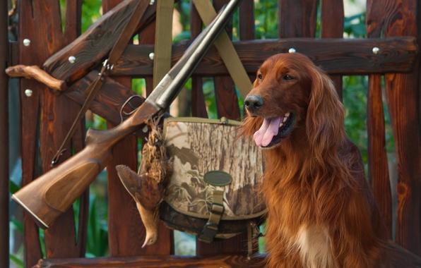 Картинка природа, забор, собака, утро, лавочка, охота, сумка, камуфляж, ружье, винтовка, снаряжение, амуниция, боке, подготовка, rifle, …