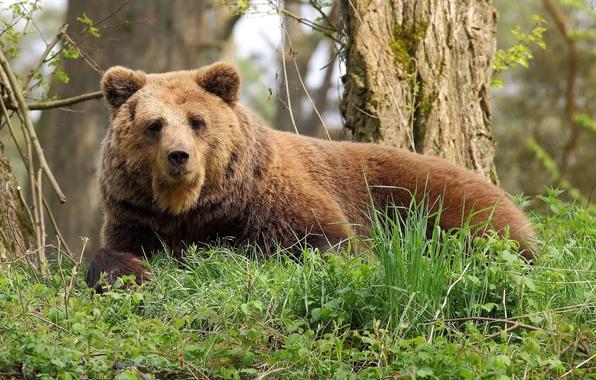 Картинка лес, отдых, Медведь