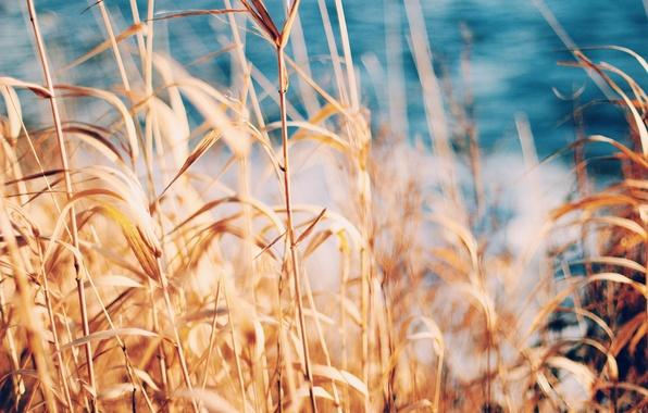 Картинка лето, трава, колоски