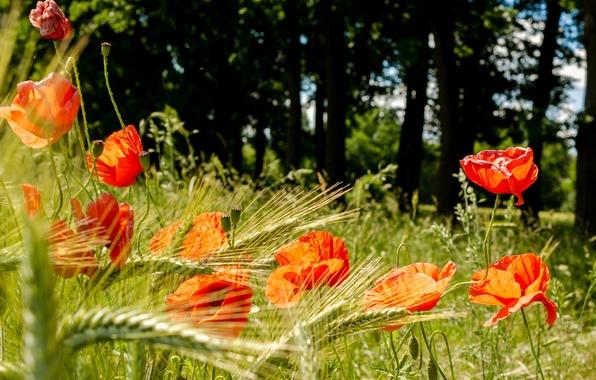 Картинка трава, деревья, цветы, маки, лепестки, луг