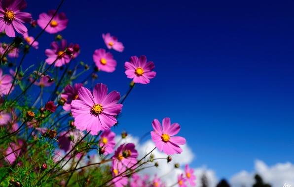 Картинка небо, макро, цветы, розовые, полевые, космея
