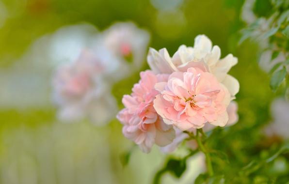 Картинка зелень, листья, макро, цветы, природа, нежность, куст, розы, красота, лепестки, размытость, сад, зеленые, розовые, бутоны