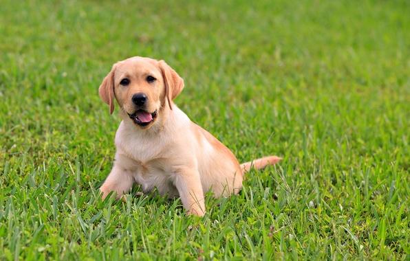 Картинка зелень, язык, трава, малыш, щенок, лабрадор, пёс, сочная