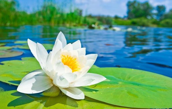 Картинка цветок, пруд, лепестки, лотос, кувшинка, белая, водоем, водяная лилия
