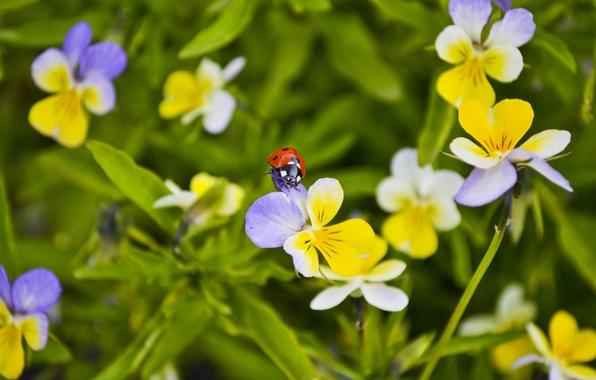 Картинка макро, цветы, божья коровка, жук, анютина глазки