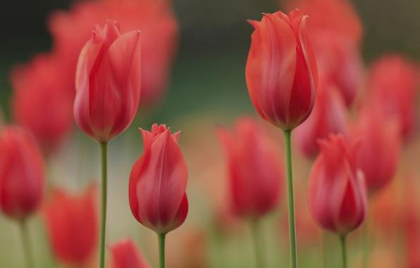 Картинка весна, лепестки, сад, луг, тюльпаны