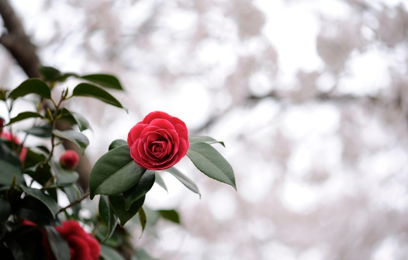 Картинка цветок, листья, макро, свет, красный, природа, блики, растение, фокус, размытость, алый