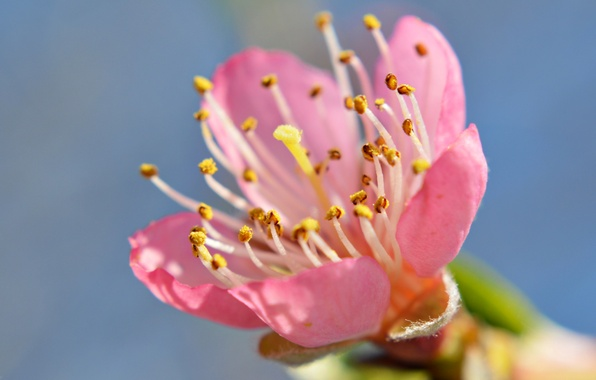 Картинка цветок, небо, весна, лепестки, сад, тычинки