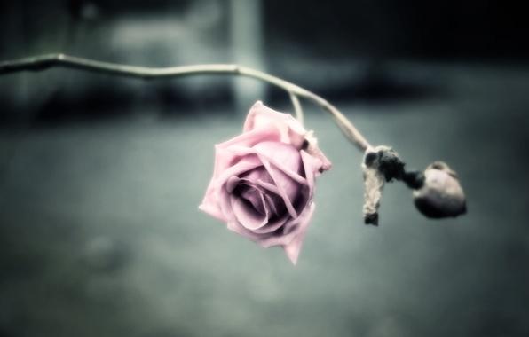 Картинка цветок, фото, фон, обои, роза, обработка, лепестки, стебель, шипы, картинка