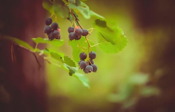 Картинка зелень, лес, листья, веточка, ягода, Ирга
