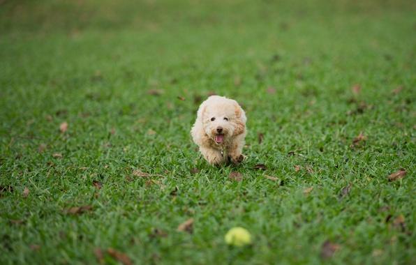 Картинка трава, газон, игра, мяч, собака, бег