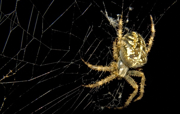 Картинка природа, фон, паутина, паук, насекомое