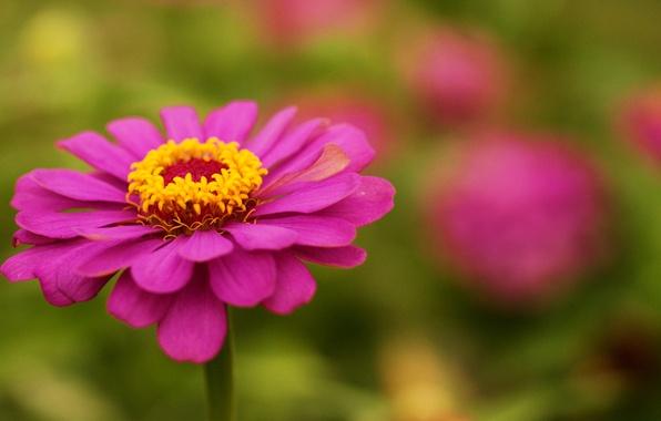 Картинка зелень, цветок, лето, розовая, фокус, циния