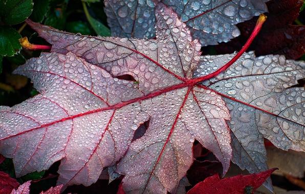 Картинка листья, капли, роса, опавшие, кленовые, осенние