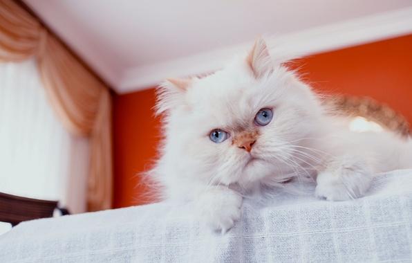 Картинка кот, взгляд, пушистый, перс, мордочка, голубые глаза, персидская кошка