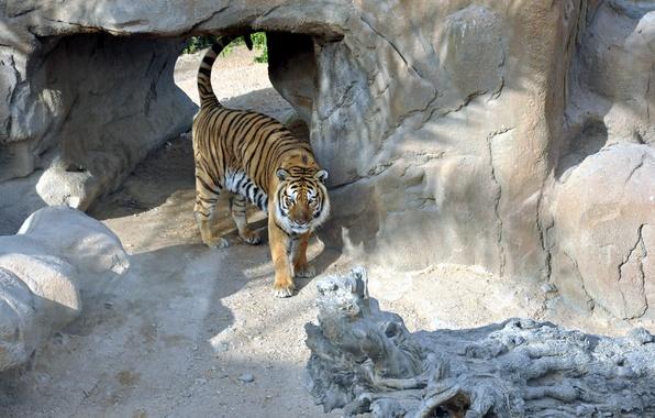 Картинка кошка, хищник, Тигр, тигровый, вальер