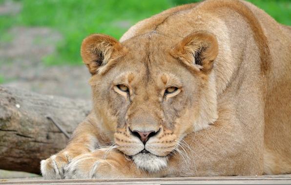 Картинка усы, взгляд, морда, отдых, лев, лапы, львица, panthera leo