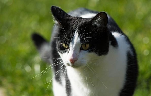 Картинка кошка, лето, кот, усы, морда, солнце, свет, черно-белая, мордочка
