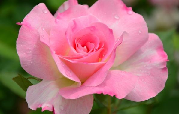 Картинка цветок, макро, природа, розовая, роза, сад