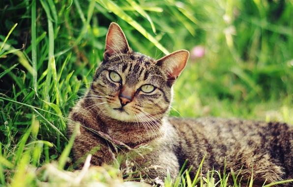 Картинка кот, усы, морда, кошак, лежит, травка, котяра