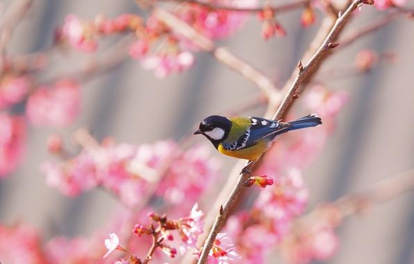 Картинка птица, весна, сакура, синица