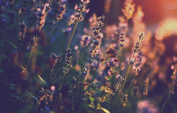Картинка свет, цветы, тепло, лаванда, боке