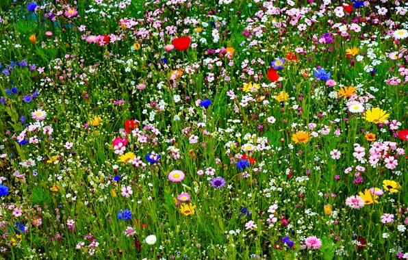 Картинка поле, лето, трава, природа, лепестки, луг