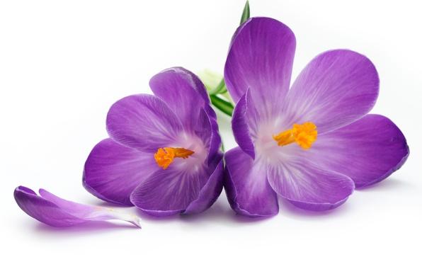 Картинка цветы, лепестки, крокусы, flower, flowers, petals, crocus