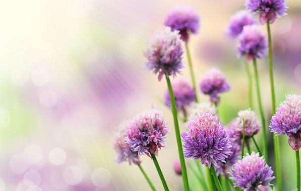 Картинка лучи, цветы, блики, сиреневые