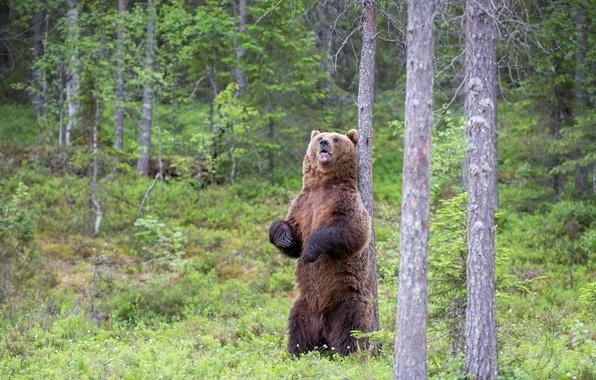 Фото обои лето, медведь, природа