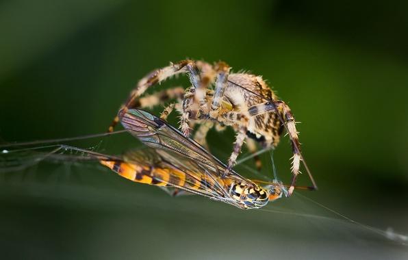 Картинка макро, оса, паутина, паук, насекомое