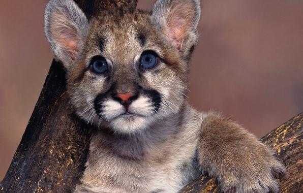 Картинка голубые глаза, пума, Cougar