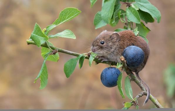 Картинка ветка, мышь, сливы, грызун, тёрн, рыжая полёвка