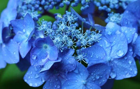Картинка капли, макро, цветки, гортензия, соцветие