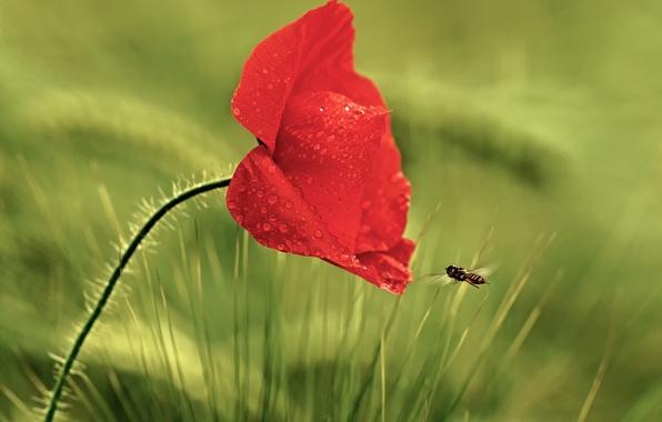 Картинка цветок, трава, капли, красный, роса, мак, насекомое