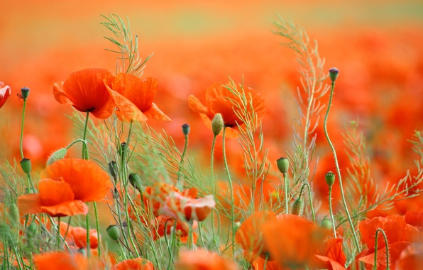 Картинка поле, цветы, природа, маки, весна, лепестки, field, nature, flowers, spring, petals, poppies