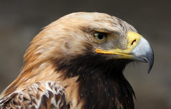 Картинка взгляд, спокойствие, портрет, Могильник (Aquila heliaca)