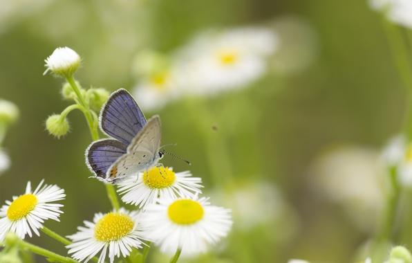 Картинка зелень, лето, трава, макро, цветы, природа, бабочка, ромашки, белые
