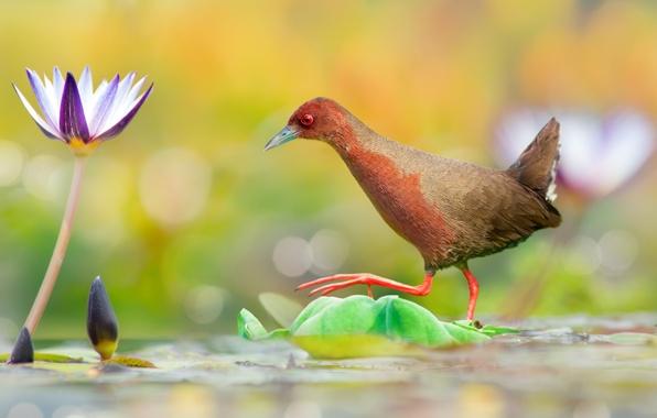 Картинка цветок, вода, птица, переход, водяная лилия, Красноногий погоныш
