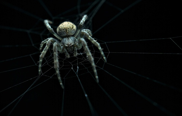 Картинка spider, web, ambush