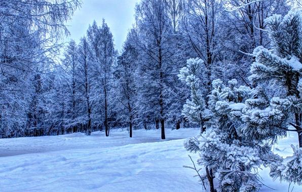 Картинка лес, Зима, снег., Ели