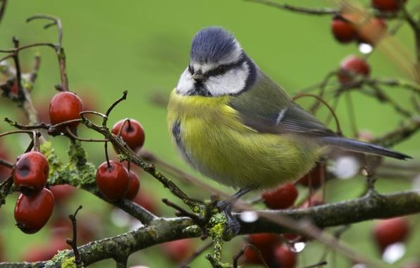 Картинка ветки, дерево, птица, синица, ранетки, яблочки, лазоревка