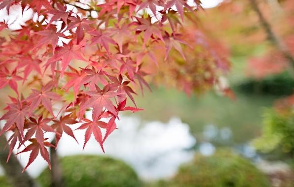 Картинка листья, макро, Дерево, размытость, красные, клен, боке, веточки