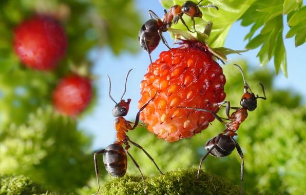 Картинка зелень, лето, макро, насекомые, ситуация, муравьи, земляника, ягода, вкусно, обои от lolita777