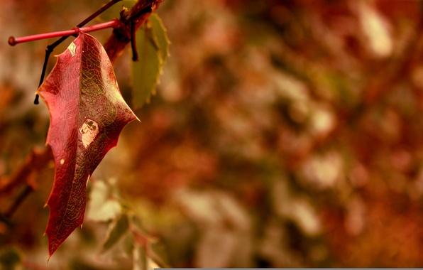 Картинка осень, макро, красный, лист, размытость