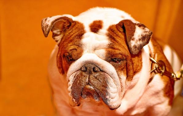 Картинка морда, фон, собака, бульдог, Английский бульдог