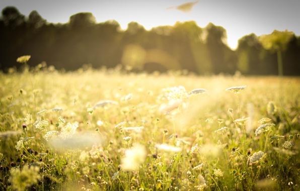 Картинка поле, лес, лето, трава, солнце, свет, цветы, природа, тепло, поляна, растения, белые, травы, полевые