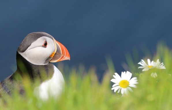 Картинка трава, взгляд, цветы, ромашки, Птица, размытость, профиль, синий фон, bird, Атлантический тупик, Fratercula arctica, Puffin
