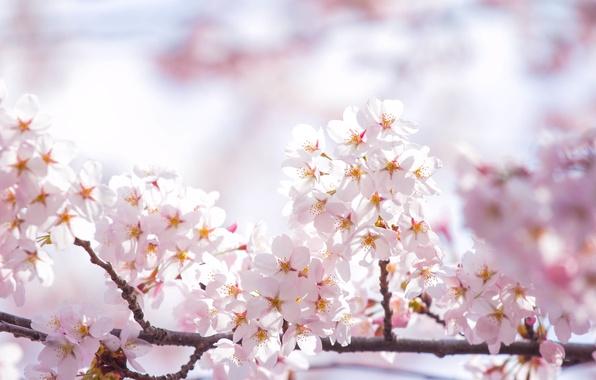 Картинка небо, солнце, свет, цветы, ветки, весна, лепестки, сакура, розовые, цветение